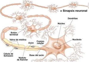hipermorfosis